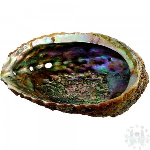 "Abalone - coquille d'ormeau 4 ""-6.5"""